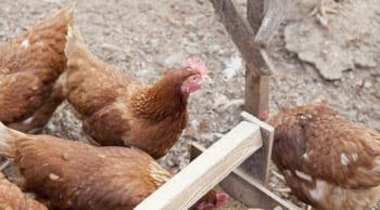 月収20万円以上可|直接雇用の可能性あり|養鶏場での飼育作業