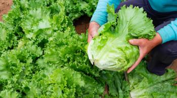 野菜の収穫・箱詰め|期間限定|日勤フルタイム|男性活躍中