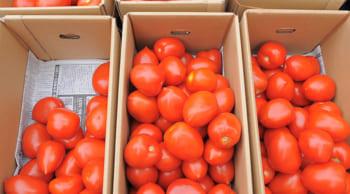 11月スタート|週3日~勤務選択OK|トマトの箱詰め・仕分け作業
